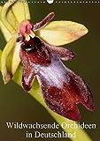 Wildwachsende Orchideen in Deutschland (Wandkalender 2019 DIN A3 hoch): Einheimische Orchideen werden in meinem Kalender vorgestellt (Monatskalender, 14 Seiten ) (CALVENDO Natur)