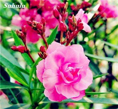 100 Pcs rares Nerium Graines Oleander Plantation Saisons de fleurs en pot Plantes culture facile Chine Graines Balcon Jardin Décoration 5