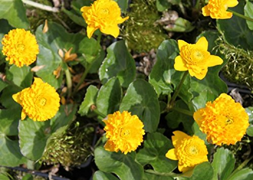 4er-Set im Gratis-Pflanzkorb - Caltha palustris 'Multiplex' - gefüllte Sumpfdotterblume, gelb - Wasserpflanzen Wolff