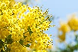 The Aromatherapy Shop - Huile essentielle de mimosa pure diluée 5% - Non renseigné,...