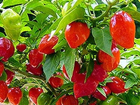 Exotic-samen Paquet de 20 semences de Habanero Caribbean red L'un des piments les plus forts