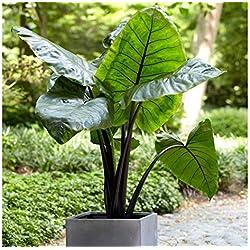 Pets Delite® 3 Große Elefantenohr Schwarzer Stamm -Colocasia esculenta- Fügen Sie einen tropischen Look hinzu