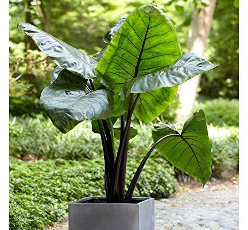 Pinkdose 1 Elephant Ear Black Stem -Colocasia esculenta- Add a Tropical Look to Your Garden