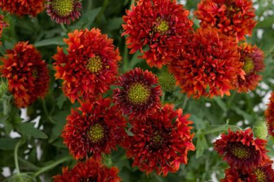 Flower Seeds : Indian blanket Pulchella Flower Flower Seeds For Basket Gardening Flowering Plant Seeds Garden [Home Garden Seeds Eco Pack] Plant Seeds By Creative Farmer  available at amazon for Rs.99