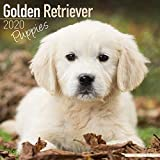 Golden Retriever Puppies Calendar 2020