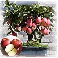 Fash Lady 6: Zwerg Bonsai Baum 50 Samen Pick Köstliche Früchte In Ihrem Garten Einfach-wachsen Bonsai FruitFree Versand 6