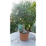 Bonsai Olivenbaum aprox. 50 cm Olea europeae hasta -6° C Oliva Plantas