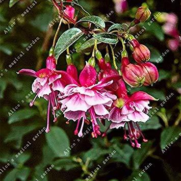 Galleria fotografica ZLKING 100 pc Enkianthus cinese Fiori Bonsai semi freschi Bella Abutilon striato pianta del fiore esotico decorato Giardino 1