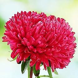 Zwerg Aster Milady Scarlet Samen - Sommeraster chinensis