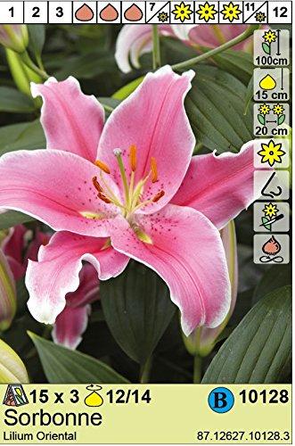 Cours Sorbonne De La (Lilium orientalis - Lilie