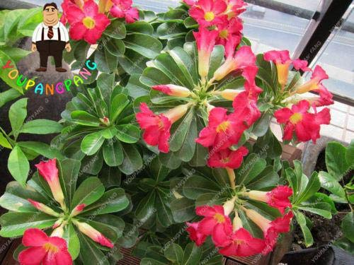 Shopmeeko 100% True Desert Rose Bonsai Seeds Balcony Bonsai Potted Flowers  Bonsai Adenium Obesum Bonsai - 1 Particles/Lot : dy