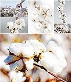 20pcs / bag bianca di cotone Semi di cotone Gossypium colture da seme, semi di cotone semi domestico di DIY pianta da giardino