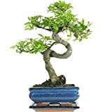 Bonsai Tree. Chinese Elm 25-35cm in blue ceramic pot and supplied with a driptray
