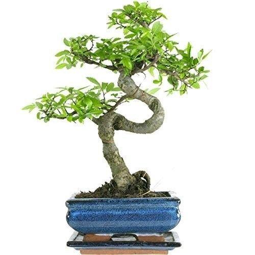Chinesische Ulme Bonsai ca. 10 jahre alt Bonsai Bäume. Gartenpflanze shrub