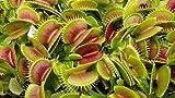 CROSO Seeds Pacakge NUR Nicht Pflanzen: muscipula, Semi/Samen, Pianta Carnivoren, Fleisch fressende Samen
