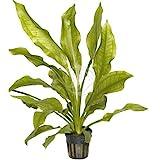 "Planta viva para acuario ""Echinodorus Bleheri"""