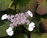 Tellerhortensie var yezoensis - Schirmhortensie - Hydrangea serrata var. yezoensis