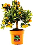 #8: Vamsha Nature Care Live Dwarf Orange Plant Tangerine (Santra) Origin Darjeeling