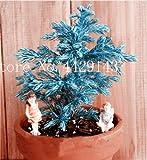 IDEA HIGH Samen-Garten Topfpflanze 30 Stück seltene blaue Zypresse Bonsai Baum, Bonsai für Blumentopf Pflanzgefäße: 1