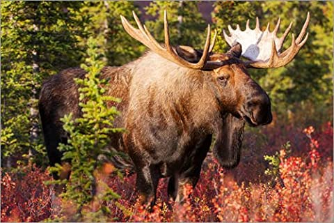 Canvas print 30 x 20 cm: A bull moose in