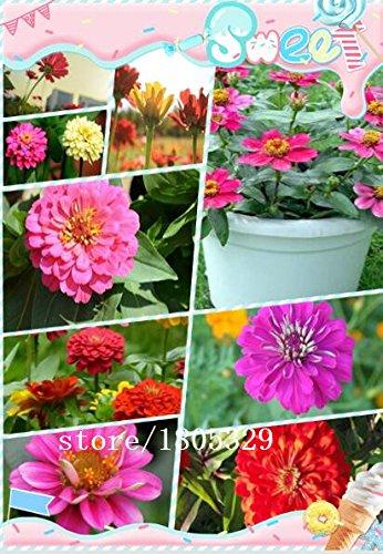 400-bassa-produzione-di-sementi-fiore-di-campo-facile-germinare-fiori-ornamentali-aroma-fresco