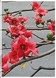 TROPICA - Albero del cotone della seta rosso (Bombax malabaricum) - 15 Semi- Magic tropical