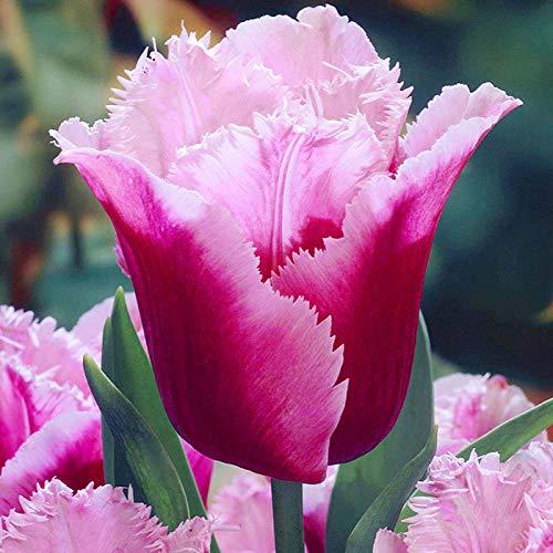 Soteer Garten - 100 stück Tulpenzwiebeln Samen Blumenzwiebel Blumensamen Ziertulpen Bonsai Winterhart Mehrjährig