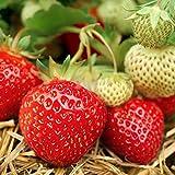 Samen Paket: 100 Samen Strawberry Mara Des Bois Bio Mein Garten - Gemüsegarten Obst