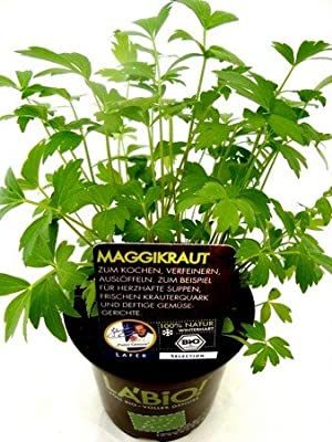 Bio Maggikraut Liebstöckel Kräuterpflanze von LÀBiO! Kräuter - Du und dein Garten
