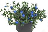 Lithodora Diffusa - Steinsame, blühend, winterhart, immergrüne Staude, für Beet, Balkon, Bodendecker, Steingarten Pflanze im 13 cm Topf