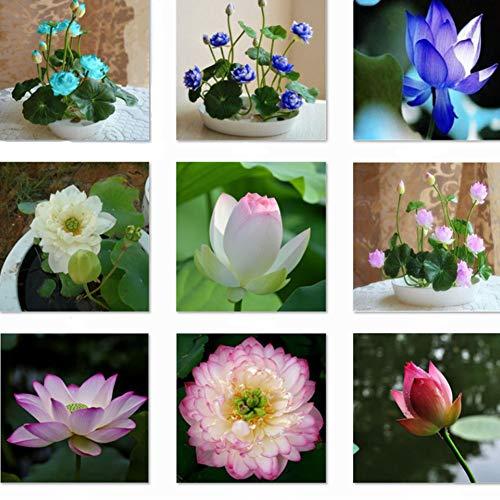 QHYDZ Seeds - 40 pcs Semillas de Flores de Loto