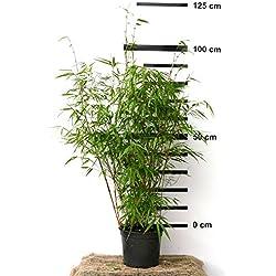 Bambus Fargesia rufa winterhart, horstig und schnell-wachsend, ideal als Sichtschutz 80-100 cm hoch