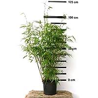 Zimmerbammbus Pogonatherum Monica Pflegeleichte Asiatische