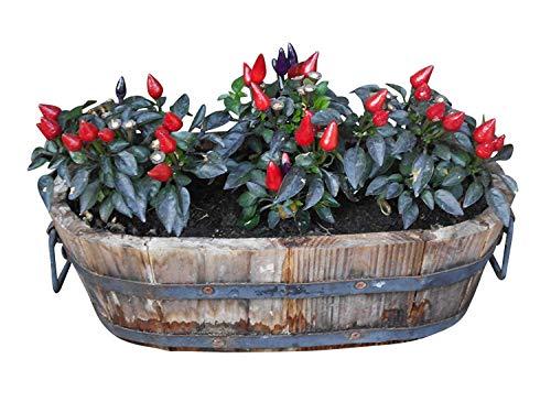 Mini-Chili *Bonsai-Chili* 6 Samen -Violett-Rot-