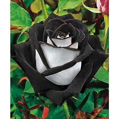 20pcs Black Rose semences Belle graines de fleurs graines bonsaï parfum de jardin les plantes décoratives en pot Livraison gratuite