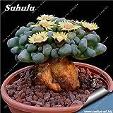 10 piezas y las suculentas semillas, Oficina de escritorio Lithops Pseudotruncatella Semillas, mezclado semillas de flor de la planta de Bonsai jardín de DIY que planta 23