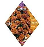 Royalfleur PFRV00832 Graines de Oeillet d'Inde Royal Honeycomb