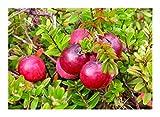 Vaccinium macrocarpon - Cranberry-Beere - Moosbeere - 20 Samen