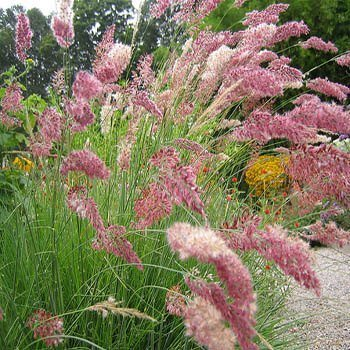 outsidepride-ruby-grass-100-seeds-by-outsidepride-ornamental-grass-seed