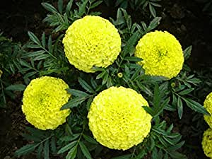 Go Green Marigold Pusa Basanti Yellow Colour Seeds (Pack of 50 Seeds)