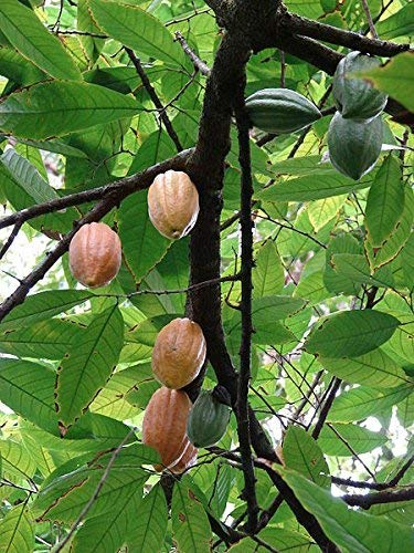 Kakaobaum Theobroma cacao Kakao Pflanze 10cm Rarität Früchte Kakaoschoten Baum