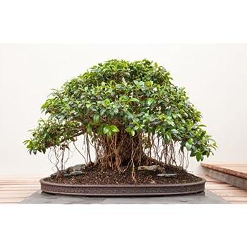 Buddha baum 20 samen pappel feige ficus religiosa - Bonsai zimmerpflanze ...