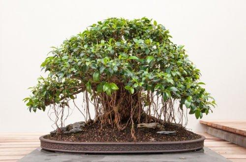 Ficus Obliqua 20 Samen - Bonsai/Zimmerpflanze