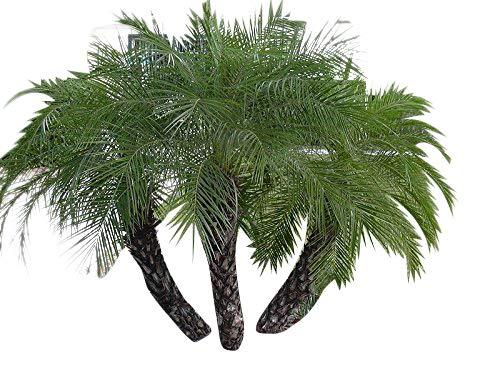 100 Samen Zwerg-Dattelpalme -Phoenix roebelinii- -Tolle Zimmerpflanze-