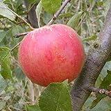 Cox Orange Renette Apfel Apfelbaum Obstbaum 100/150 cm Niedrigstamm süß