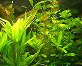 1 Bund Wasserpest, 5-6 Pflanzen,Aquarium, Teich