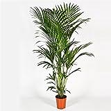 Blumen-Senf Kentia Palme 180-200 cm Howea forsteriana