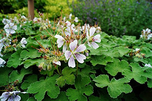 Kaukasus Storchschnabel Geranium rendardii Topfware 5 Stück