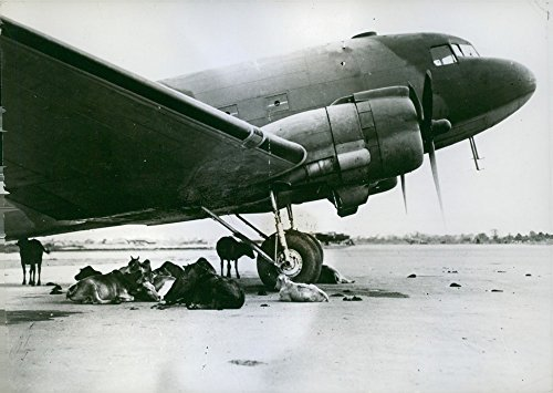 vintage-photo-of-a-view-of-the-twin-engined-cargo-plane-giving-shelter-to-a-small-herd-of-cows-at-a-
