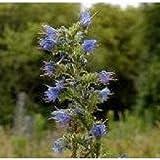 Portal Cool Wildflower - Natternkopf - 60 Samen